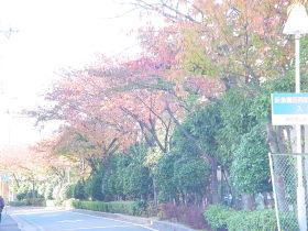 園田 アパートまでの桜並木